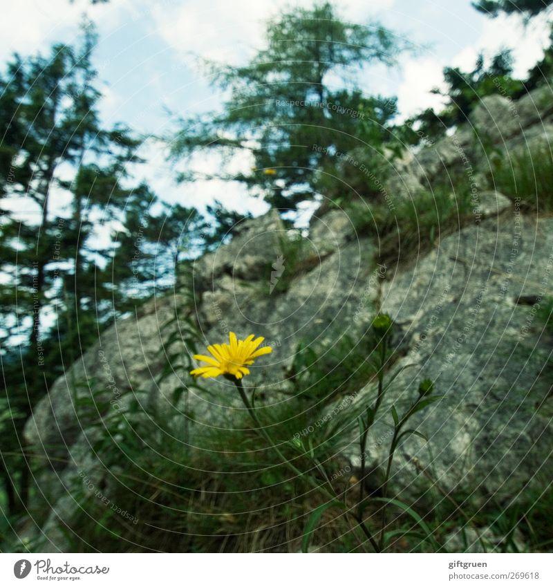 mauerblümchen Natur Pflanze Urelemente Himmel Sommer Schönes Wetter Baum Blume Felsen Berge u. Gebirge Wachstum gelb Blühend Stein karg einzeln Mauerpflanze