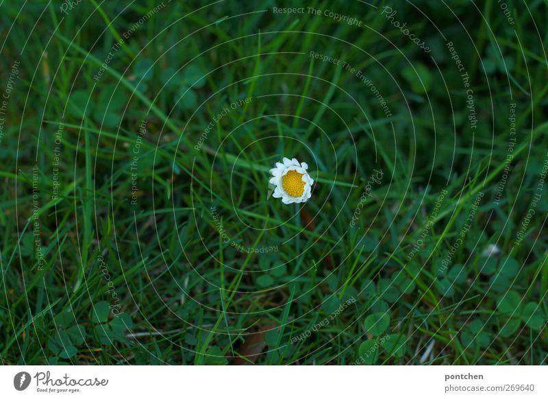 Kleeblätter und Einzelnes Gänseblümchen im Gras von oben. Frühling. Natur Blüte Wiese Blühend gelb grün weiß Rasen einzeln Farbfoto Außenaufnahme
