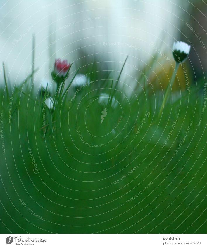 Frühling. Nahaufnahme von Gras und Gänseblümchen mehrere Wiese Rasen grün weiß gelb Blühend Blüte Blume Halm