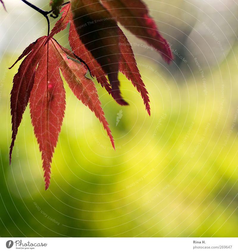 Leuchten Natur Landschaft Pflanze Frühling Baum Blatt Japanischer Ahorn Garten leuchten natürlich gelb grün rot Farbfoto mehrfarbig Außenaufnahme Menschenleer