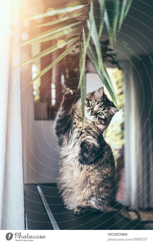 Eine lustige junge Katze sitzt auf ihren Hinterbeinen und spielt mit hängenden Pflanzenblättern im Wohnzimmer. Flauschige reinrassige Sibirische Katze Sitzen