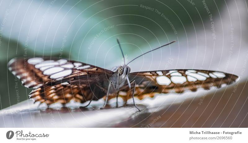 Schmetterling / Blauer Morphofalter Umwelt Natur Tier Sonnenlicht Schönes Wetter Wildtier Tiergesicht Flügel Auge Fühler Saugrüssel Beine 1 beobachten glänzend