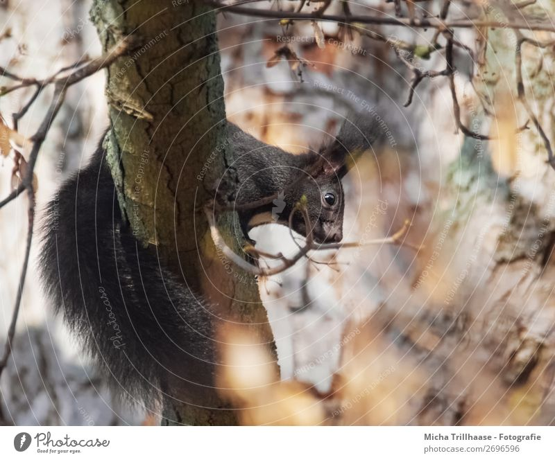 Eichhörnchen im herbstlichen Baum Natur Tier Blatt Wald schwarz gelb Auge orange braun Wildtier Schönes Wetter niedlich beobachten Neugier entdecken