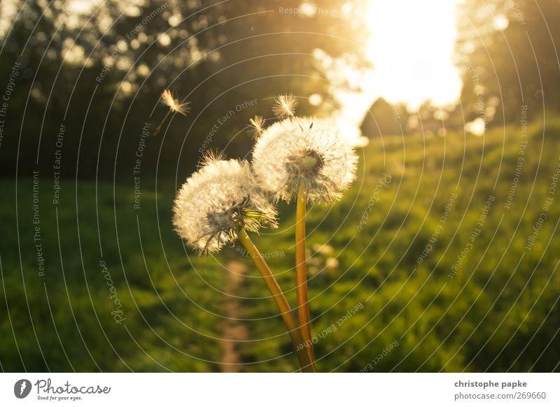 Märchenhafte Pusteblume Umwelt Natur Pflanze Sonne Sonnenlicht Frühling Sommer Herbst Schönes Wetter fliegen verblüht ästhetisch fantastisch schön Löwenzahn