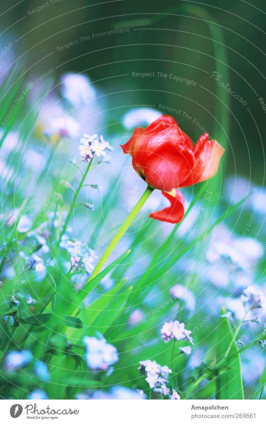 ::12-6:: Umwelt Natur Landschaft Pflanze Blume Gras Tulpe Blatt Blüte Garten Park Freude Glück Fröhlichkeit Lebensfreude Frühlingsgefühle Sommer rot violett