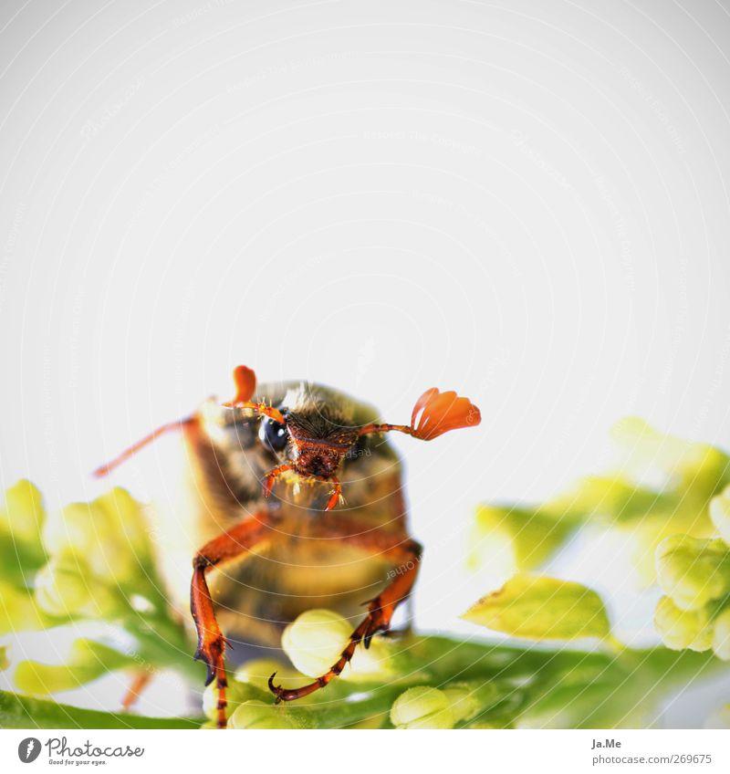 satter Käfer Tier Wildtier Tiergesicht Maikäfer 1 braun grün weiß Farbfoto Außenaufnahme Detailaufnahme Makroaufnahme Textfreiraum oben High Key