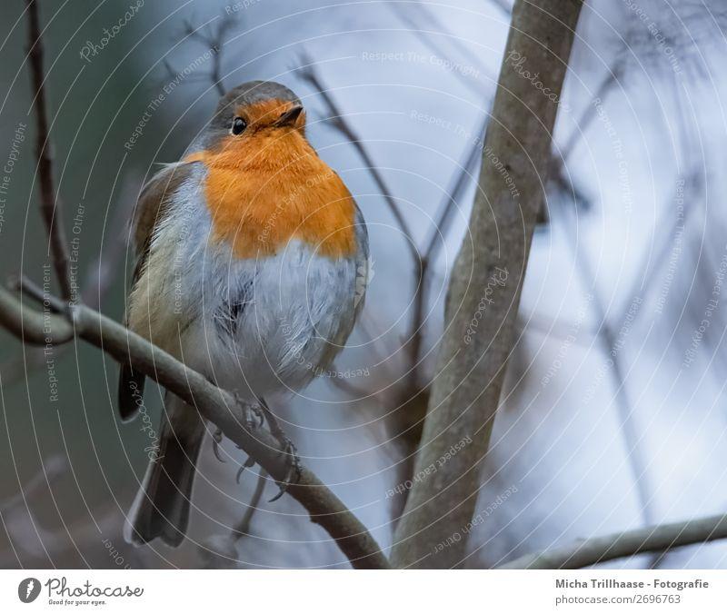 Rotkehlchen in der Dämmerung Himmel Natur blau grün Baum Tier gelb Umwelt Auge Beine kalt natürlich orange Vogel leuchten glänzend