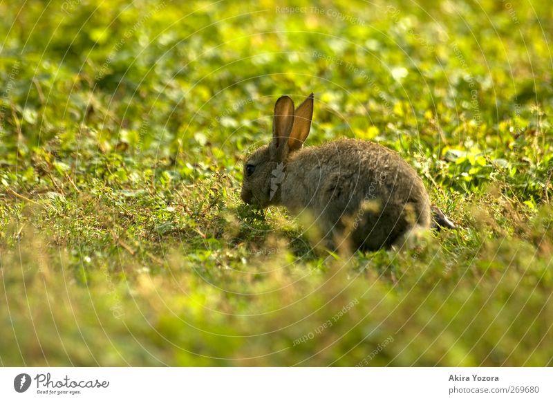 Guten Hunger! Gras Garten Park Wiese Tier Haustier Wildtier Hase & Kaninchen 1 Tierjunges genießen sitzen frei natürlich braun gelb grün weiß Natur Farbfoto