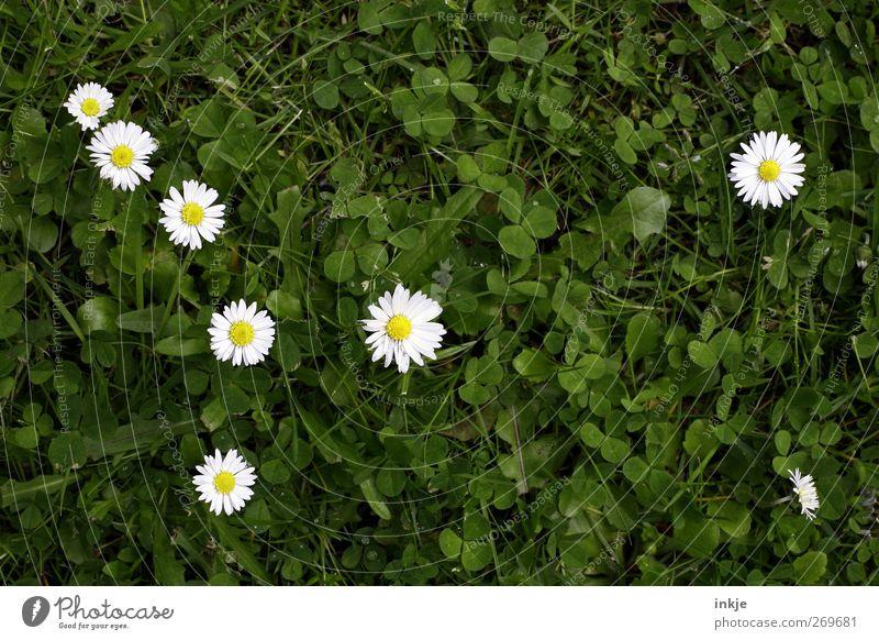 Die 7 1/2 Zwerge Natur Pflanze Tier Sommer Gras Blüte Gänseblümchen Klee Wiese Blühend Wachstum natürlich niedlich saftig schön grün weiß Idylle Netzwerk