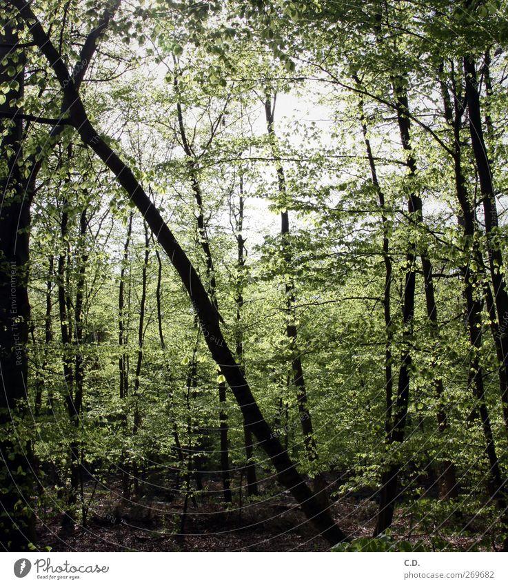 neulich im Wald Natur Pflanze Frühling Schönes Wetter Baum Sträucher Grünpflanze Wildpflanze Wachstum grün Umwelt Blatt Laubbaum Waldboden Ast diagonal verrückt