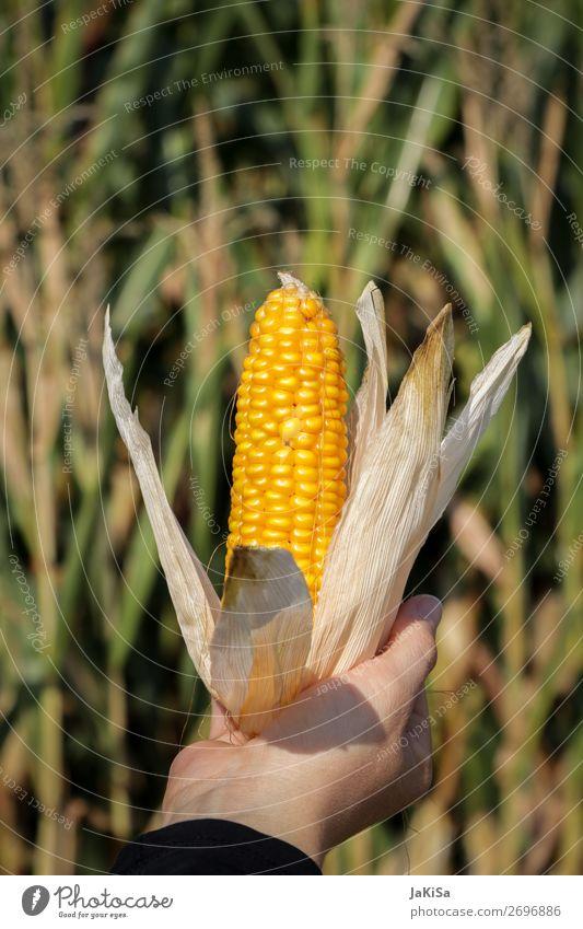 Maiskolben Lebensmittel Gemüse Maisfeld Ernährung Hand Umwelt Natur Landschaft Nutzpflanze festhalten frisch gelb Farbfoto Außenaufnahme Tag