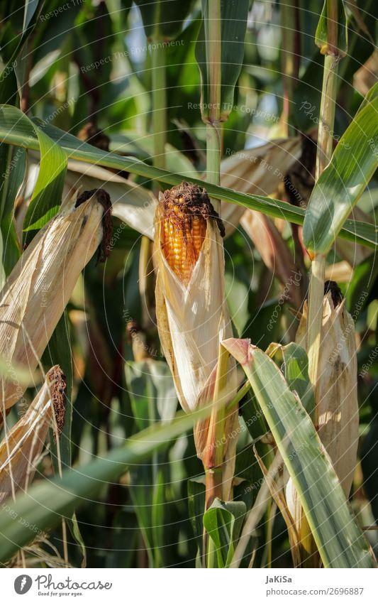 Maisfeld Lebensmittel Gemüse Umwelt Natur Landschaft Nutzpflanze Essen gelb Maiskolben Landwirtschaft Farbfoto Außenaufnahme Tag Sonnenlicht Zentralperspektive
