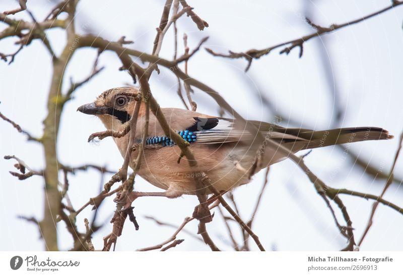 Wachsamer Eichelhäher Natur Tier Himmel Sonnenlicht Schönes Wetter Baum Ast Wildtier Vogel Tiergesicht Flügel Krallen Schnabel Feder Auge 1 beobachten