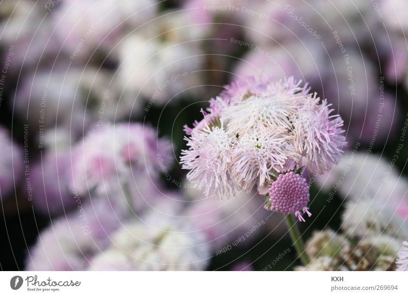 Blume in Blumenmeer Natur Pflanze Umwelt Frühling Garten Blüte träumen Park rosa violett