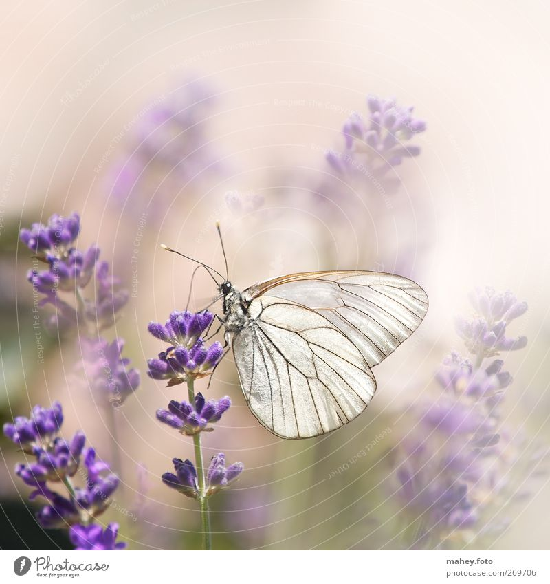 Sommer-Leichtigkeit Natur Blume Blüte Lavendel Heilpflanzen Blütenstauden Garten Blumenbeet Schmetterling Flügel Baumweißling Insekt atmen Duft Unendlichkeit