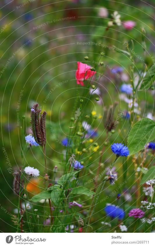 Sommertag Umwelt Natur Pflanze Schönes Wetter Blume Blüte Wildpflanze Blumenwiese Wiese Wiesenblume Mohn Mohnblüte Kornblume Sommerblumen Sommerblumenbeet