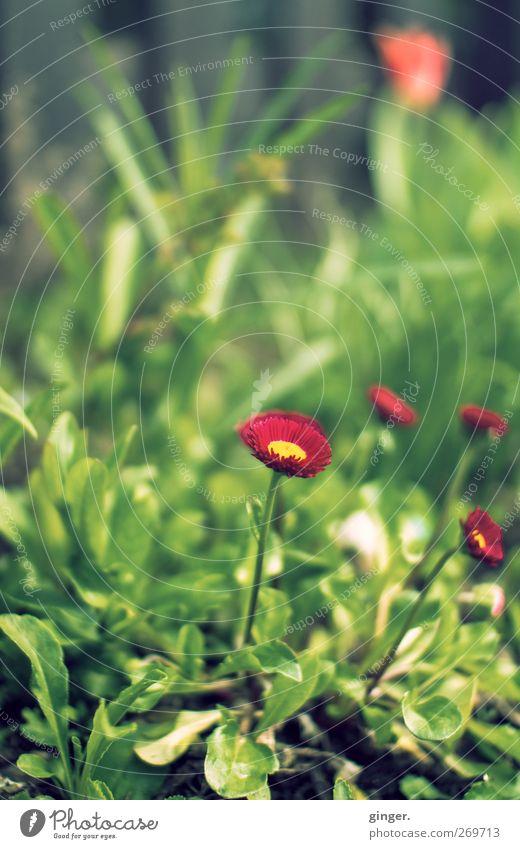 Bloß nicht verstecken Natur grün rot Pflanze Blume Blatt Umwelt Gras Frühling klein Blüte Wachstum niedlich Schönes Wetter zart vertikal