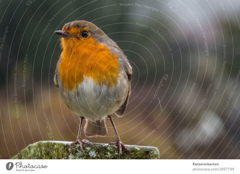 Frech guckendes Rotkehlchen wandern Natur Landschaft Klima Regen Garten Park Wiese Wald Menschenleer Tier Wildtier Vogel Flügel 1 beobachten fliegen authentisch
