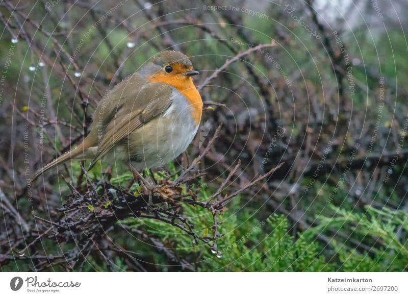 Rotkehlchen im Regen 2 Blickwechsel Umwelt Natur Landschaft Wassertropfen Tier Vogel Flügel 1 authentisch nass natürlich niedlich Stimmung Tierliebe Einsamkeit