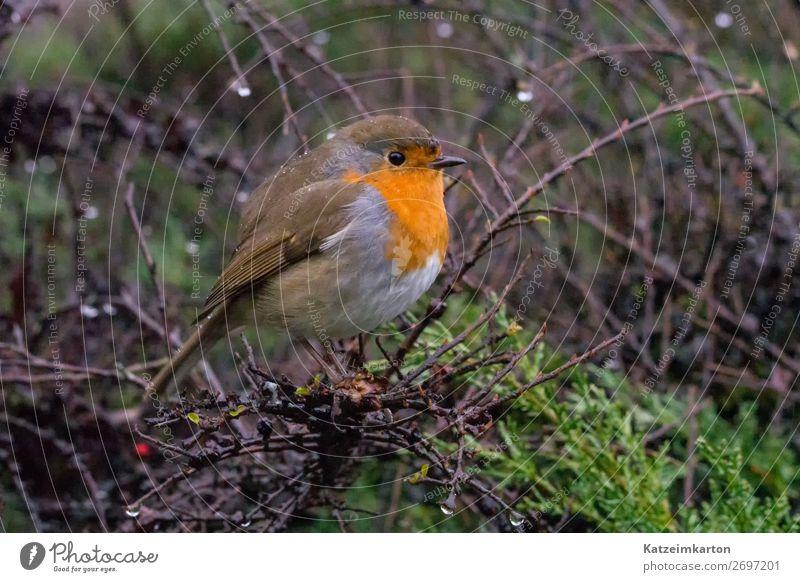 Rotkehlchen im Regen Natur Frühling schlechtes Wetter Garten Park Wald Tier Wildtier Vogel Flügel 1 beobachten Blick wandern authentisch Neugier niedlich wild