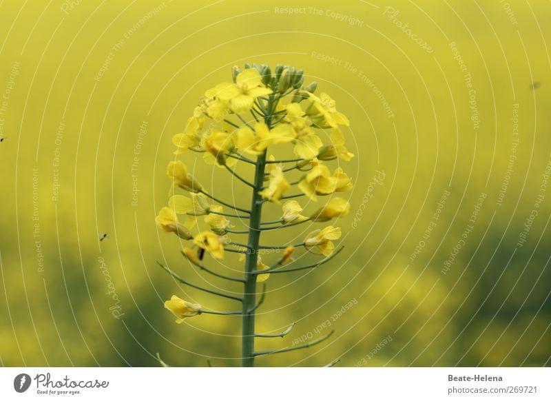 Sonnengelb Natur schön Pflanze Blume Freude Gefühle Frühling Blüte Feld natürlich Wachstum ästhetisch leuchten Blühend Raps