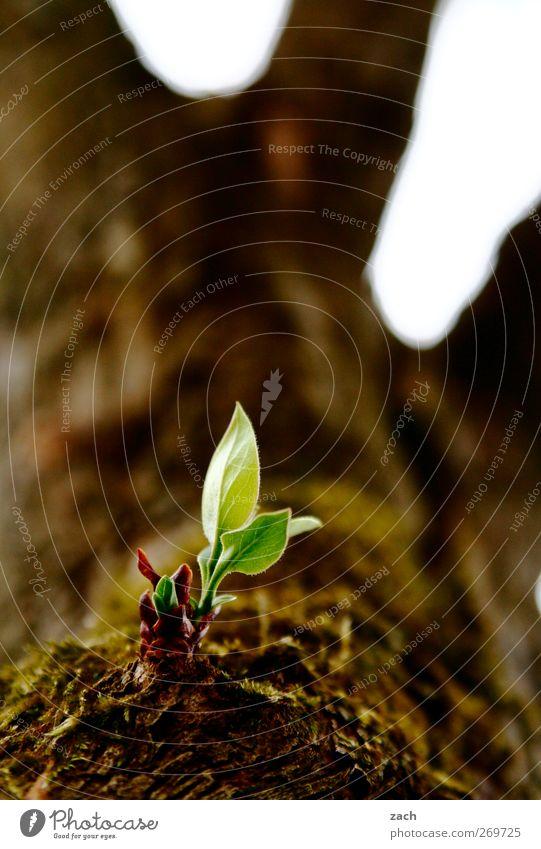 Durchsetzungsvermögem grün Baum Pflanze Blatt Frühling braun Kraft Beginn Wachstum Blühend Willensstärke Blütenknospen
