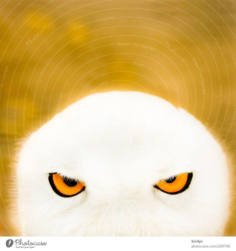 durchleuchten Eulenaugen Eulenvögel Schnee-Eule 1 Tier beobachten Blick ästhetisch außergewöhnlich bedrohlich hell schön weich gelb weiß selbstbewußt Mut