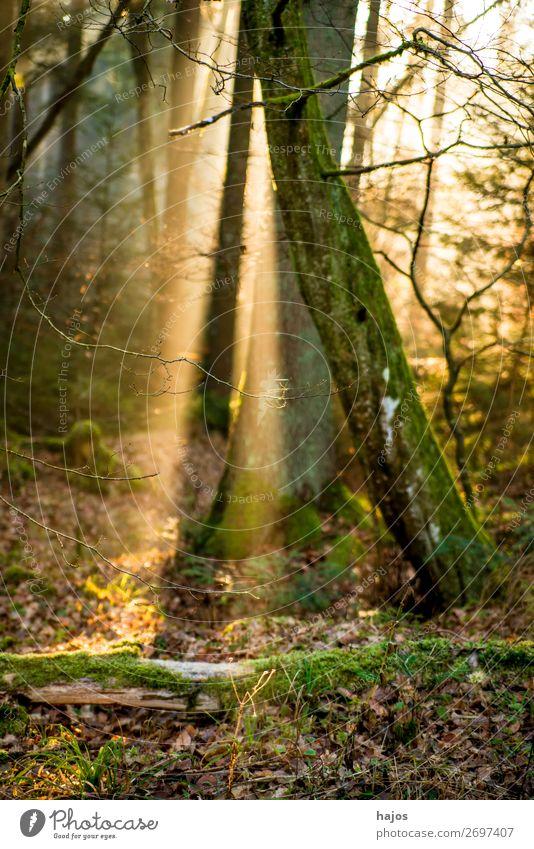 Sonnenstrahlen im Wald Erholung Winter Natur Wärme weich Idylle Spot strahlt Bäume leuchtend hell Lichterscheinung erleuchtet mystisch märchenhaft geheimnisvoll