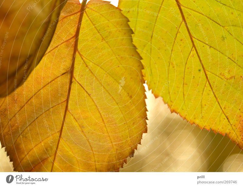 vibrant colored autumn leaves Natur Baum Pflanze Blatt Herbst Hintergrundbild natürlich Wachstum Wandel & Veränderung Vergänglichkeit Idee dünn Teile u. Stücke