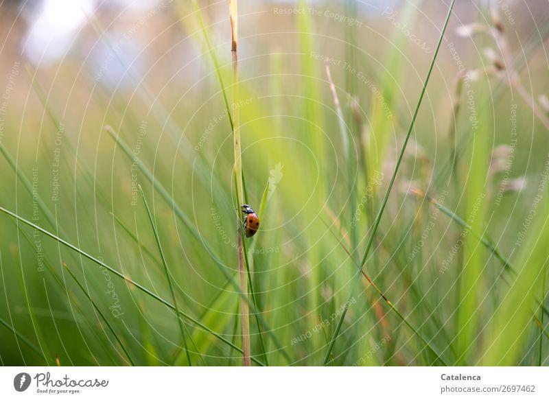 Steil hinauf Natur Pflanze Tier Sommer Gras Blatt Halm Garten Wiese Käfer Marienkäfer Insekt 1 krabbeln schön klein braun grün rot schwarz weiß Stimmung