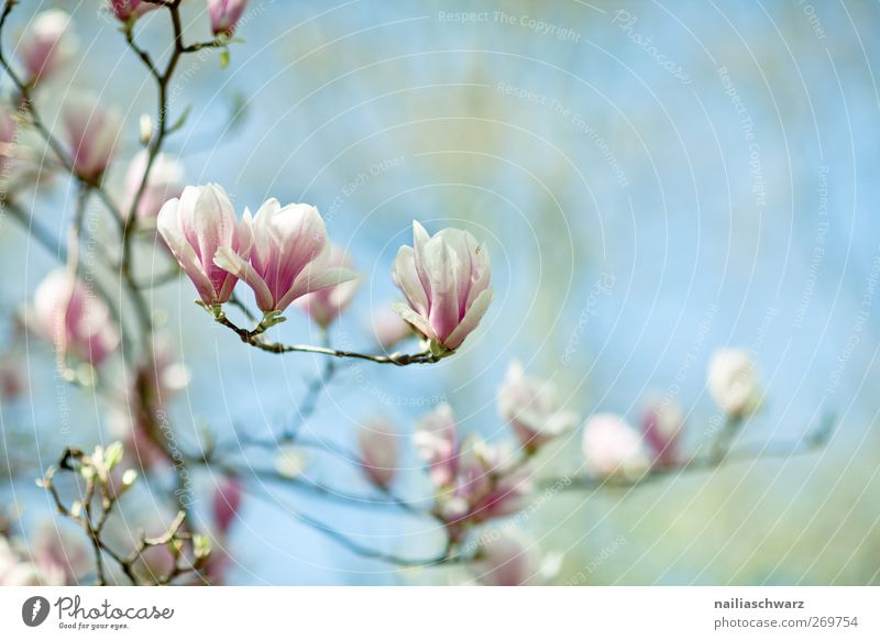 Magnolien Natur Pflanze Himmel Frühling Blume Blüte Nutzpflanze Magnolienbaum Magnolienblüte Blühend Duft Wachstum frisch schön blau grün rosa Idylle träumen