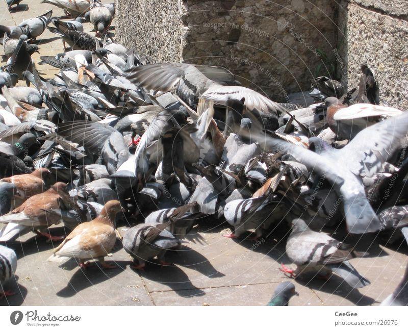Taubenhaufen Vogel fliegen Konflikt & Streit Spanien Flugzeuglandung kämpfen Fressen Taube Barcelona Haufen