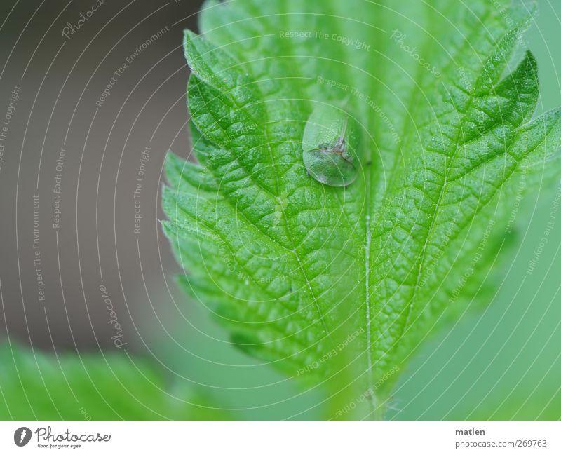 Pickelchen Pflanze Tier 1 grau grün Tarnung Ton-in-Ton Insekt Brennnessel ruhen Gedeckte Farben Außenaufnahme Nahaufnahme Textfreiraum links Tag