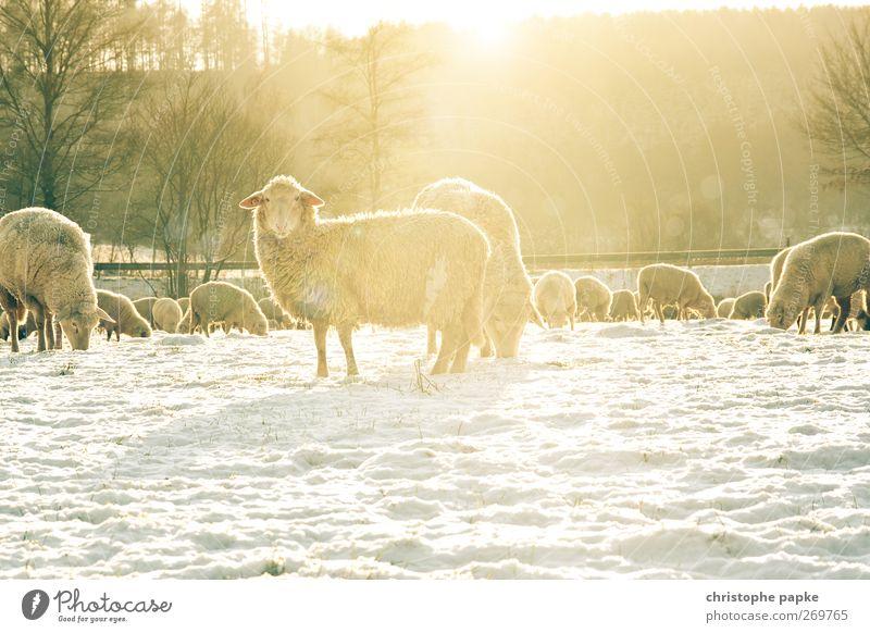 Schafskälte Landwirtschaft Forstwirtschaft Winter Schönes Wetter Schnee Wiese Feld Tier Nutztier Fell Schafherde Tiergruppe Herde frieren Blick stehen hell kalt