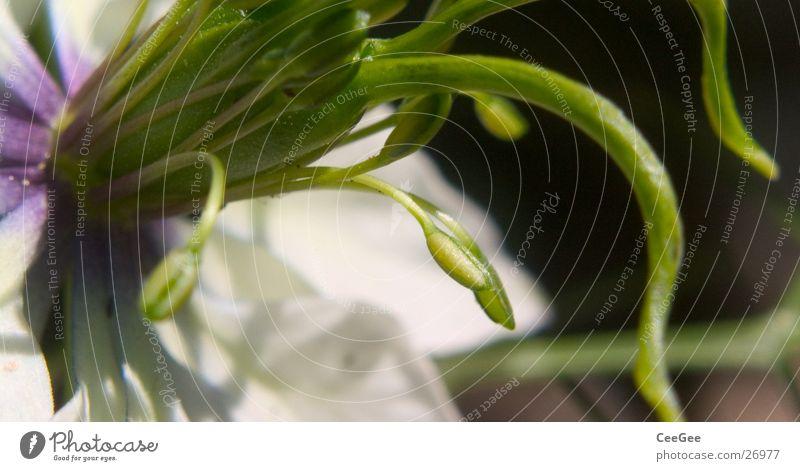 Tentakeln Natur weiß Blume grün Pflanze Blüte violett Samen Stempel Tentakel