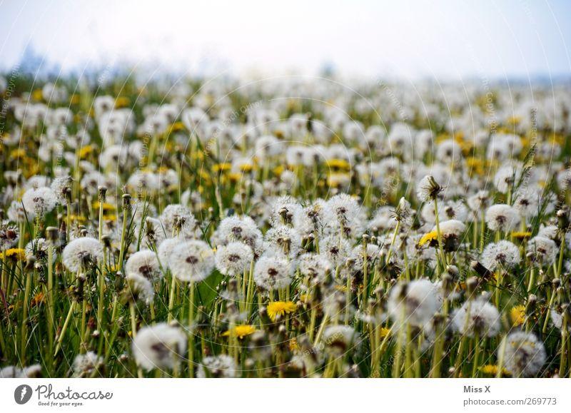 Windstill Natur Pflanze Sommer Blume Blüte Wiese verblüht filigran Löwenzahn Samen Feld Farbfoto Außenaufnahme Menschenleer Textfreiraum oben