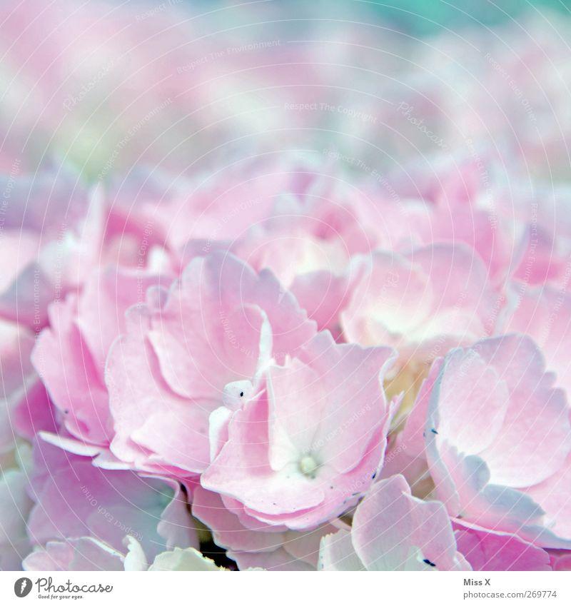 Hortensie Pflanze Frühling Blume Blüte Blühend Duft hell rosa Hortensienblüte Farbfoto mehrfarbig Nahaufnahme Makroaufnahme Muster Menschenleer