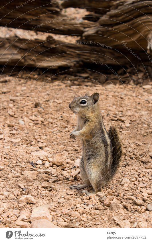crazy Chipmunk Natur Erde Sand Dürre Schlucht Tier Wildtier Streifenhörnchen 1 beobachten entdecken hören warten frech klein nah Neugier niedlich braun achtsam