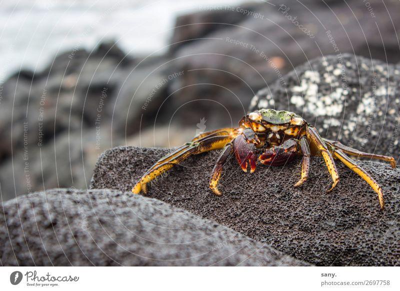 "Crab on petrified lava Natur Landschaft Tier Erde Wasser Felsen Vulkan Lavakrabbe Küste Insel ""Big Island Hawaii"" Wildtier Krabbe 1 krabbeln Blick gelb rot"
