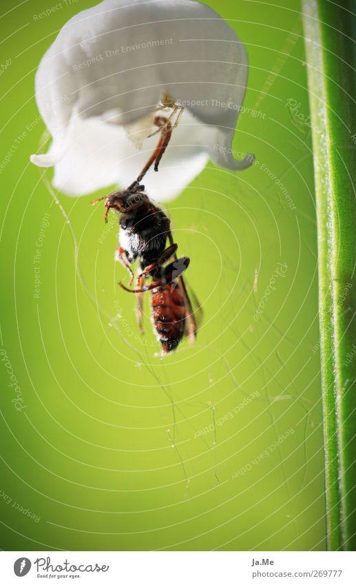 Der Jäger, der in der Blüte lauert. weiß grün Tier Wildtier Käfer Spinne Wespen Blütenkelch Maiglöckchen Krabbenspinne