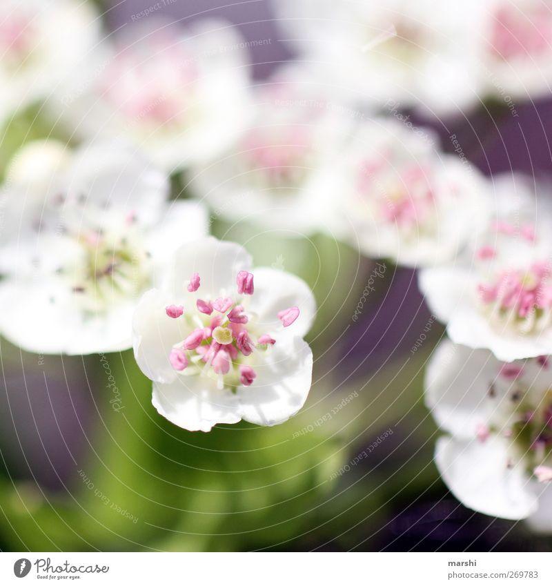 weiß und duftend Pflanze Sommer Blume Frühling Garten Park rosa Sträucher Blühend Duft