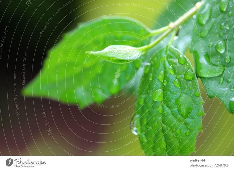 Nasser Duftjasmin Umwelt Natur Pflanze Wasser Wassertropfen Frühling schlechtes Wetter Regen Sträucher Blatt Grünpflanze Garten Park Hecke Jasmin Regenwasser