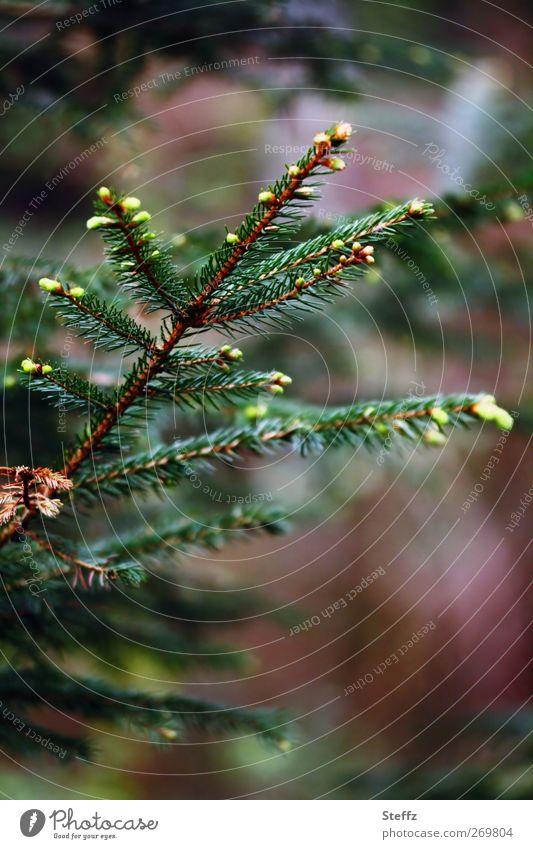 Fichtenzweig fichtennadeln Fichtenzapfen dunkelgrün duftend Zweig Nadelwald Duft frisch aromatisch Waldstimmung Wohlgefühl Frühlingsgefühle Mai nah Fichtenwald