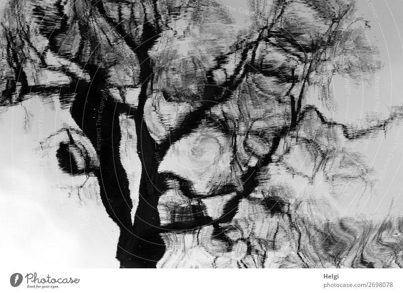bizarre Spiegelung eines Baumes auf einer Wasseroberfläche Umwelt Pflanze Frühling Teich stehen außergewöhnlich groß einzigartig grau schwarz weiß ruhig