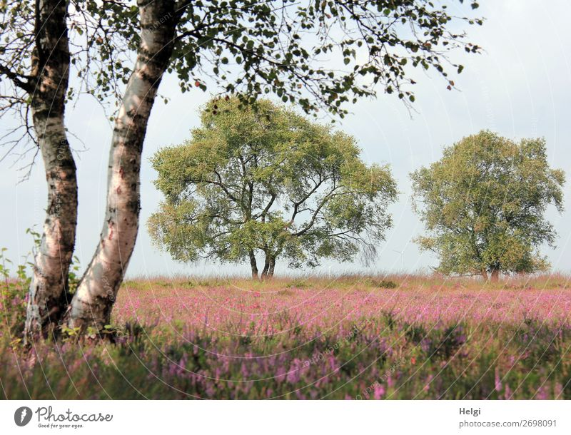 Landschaftsaufnahme mit Birken und blühenden Heidepflanzen im Moor bei schönem Wetter Umwelt Natur Pflanze Himmel Sommer Schönes Wetter Baum Blume Blatt Blüte