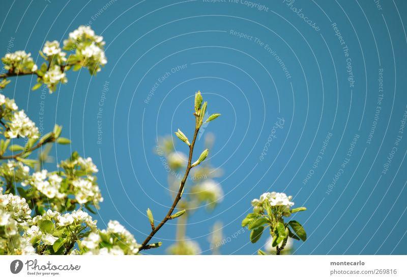 Ganz oben... Umwelt Natur Pflanze Himmel Wolkenloser Himmel Sonne Sonnenlicht Frühling Schönes Wetter Baum Sträucher Blatt Blüte Grünpflanze Wildpflanze Garten