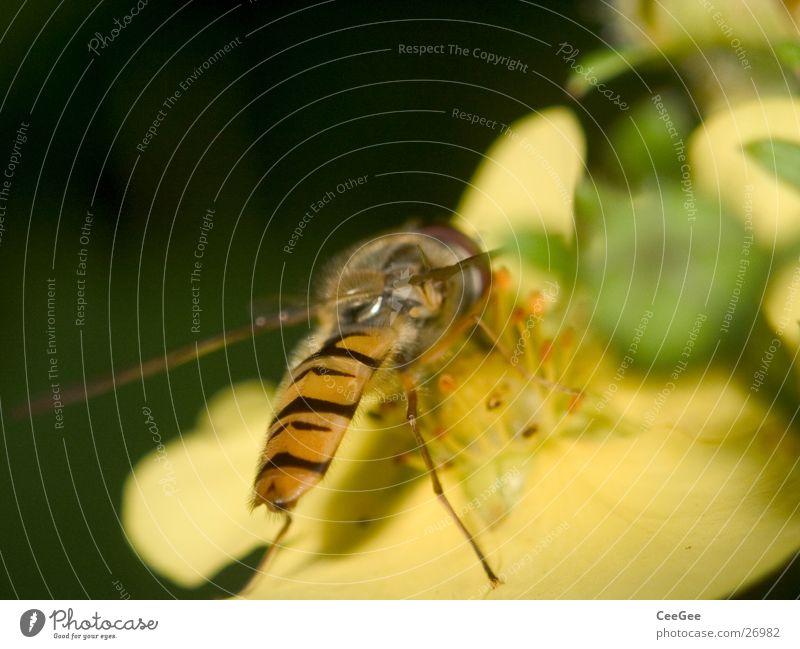 Schwebfliege Insekt Blüte Blume Pflanze Tier gelb Staubfäden Ernährung Sammlung Flügel Beine Natur Detailaufnahme Nahaufnahme Makroaufnahme Nektar Lebensmittel