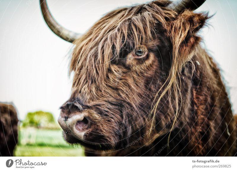 Mach Hugo nicht an! Natur Tier Umwelt braun natürlich Neugier Fell Kuh Horn Pony skeptisch Schnauze Herde Nutztier Viehzucht Rind