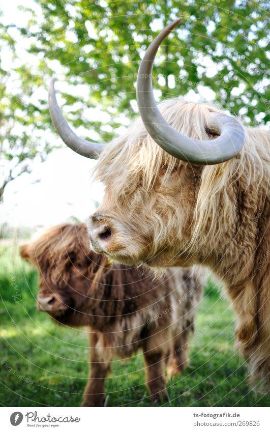 We are family! Umwelt Natur Frühling Sommer Baum Gras Tier Kuh Tiergesicht Schottisches Hochlandrind Horn 2 Herde Tierjunges Tierfamilie natürlich braun grün