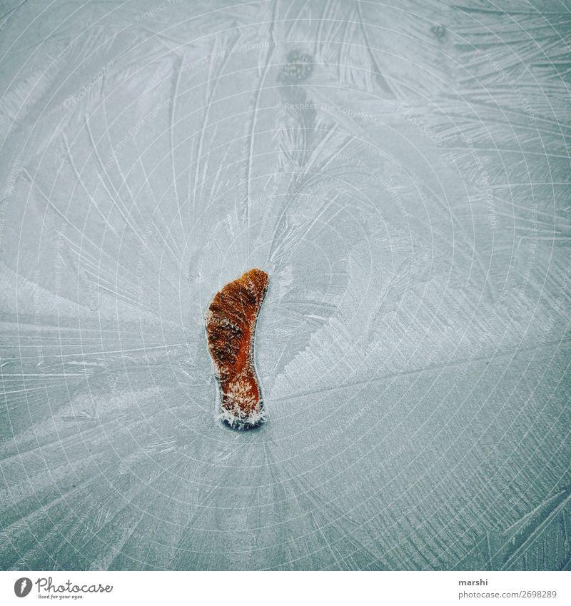 vereist Garten Natur Pflanze Sträucher Blatt Stimmung Ahorn Eis Winter gefroren kalt blau Frost Wetter Farbfoto Außenaufnahme Nahaufnahme Detailaufnahme